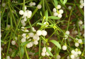 Harvesting herbs from prostatitis.