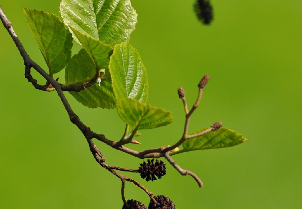 Alder cones for diarrhea.