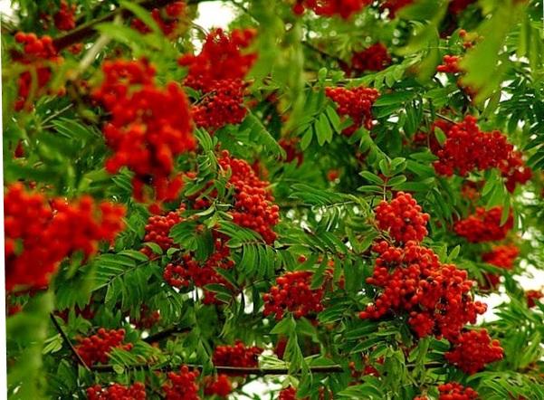 Berries saved the intestines.