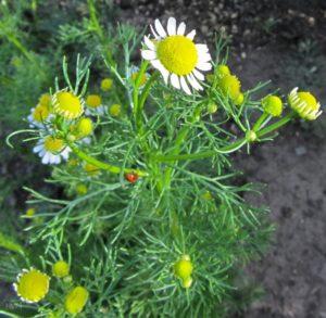 Chamomile in Gynecology.
