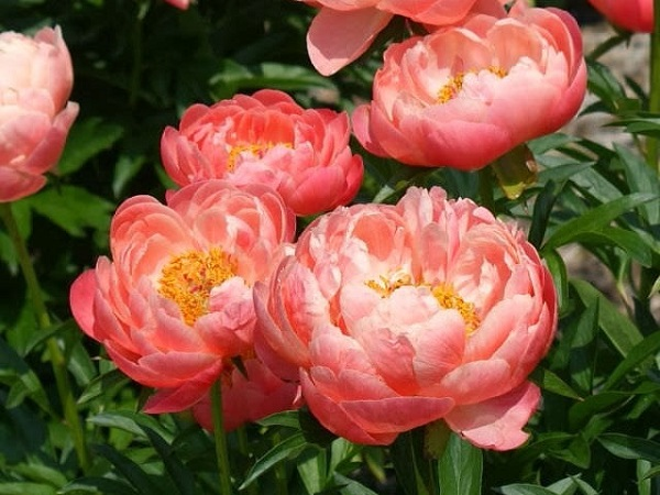 Peony from cancer.